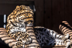 Leopard. In cage with shadows on it Stock Image