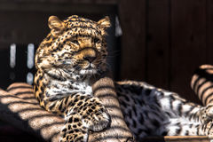 Leopard. In cage with shadows on it Stock Photo
