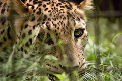 Leopard in the cage Royalty Free Stock Image