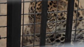 Leopard in a cage. stock video footage