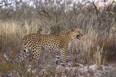 Leopard calling stood on rocks. A female Leopard calling, stood on rocks and in front of dry grassland vegetation in the Kalahari Desert, Kgalagadi Transfrontier Stock Photo
