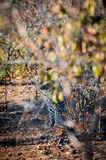 Leopard camoflaged behind a tree Royalty Free Stock Image