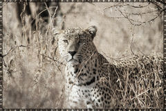 Leopard Canvas Printable Stock Photo