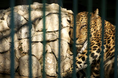 Leopard in captivity Stock Photography