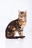 Leopard Cat. Bengal leopard cat in the studio Stock Image