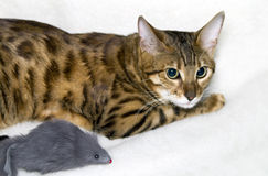 Leopard cat. With a toy mouse Royalty Free Stock Images