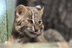 Leopard cat Stock Images