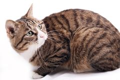 Leopard cat. A leopard cat is seeing its companion playing above Stock Image