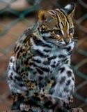 Leopard cat. A beautiful leopard cat in a zoo Stock Images