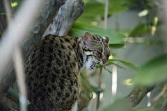 Leopard cat in captivity royalty free stock photo