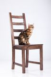 Leopard Cat On A Chair Stock Photos