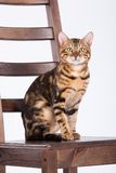 Leopard Cat On A Chair. Bengal leopard cat sitting on a wooden chair Royalty Free Stock Photos