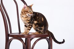 Leopard Cat On A Chair. Bengal leopard cat in the studio sitting on a bent-wooden chair Royalty Free Stock Photos