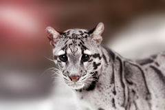 Leopard cat on a darkness Stock Image