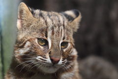 Leopard cat detail. The detail of upper body of leopard cat Stock Image