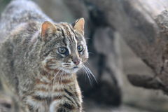Leopard cat. The detail of strolling leopard cat Royalty Free Stock Image