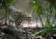 Leopard cat hunting Royalty Free Stock Photos