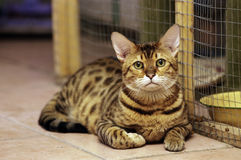 Leopard cat beside its cage. Leopard cat is lying beside its cage Royalty Free Stock Photography