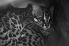 Leopard cat. Sleep In the hollow Stock Photos