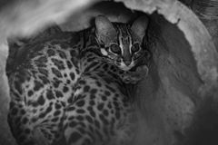Leopard cat. Sleep In the hollow stock image