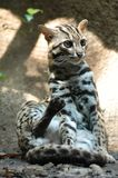 Leopard Cat - Prionailurus ben. A Small Leopard cat from Southeast Asia stock images