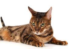 Leopard cat (Prionailurus bengalensis) Stock Image