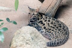Leopard cat Prionailurus bengalensis close up royalty free stock images