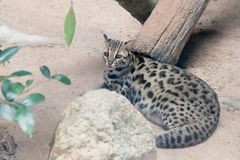 Leopard cat Prionailurus bengalensis in the zoo. Leopard cat Prionailurus bengalensis close up in the zoo stock image