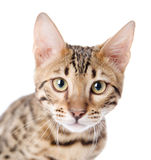 The leopard cat (Prionailurus bengalensis). Stock Photography
