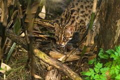 Leopard cat Prionailurus bengalensis. A small wild cat native to continental South, Southeast and East Asia royalty free stock photo