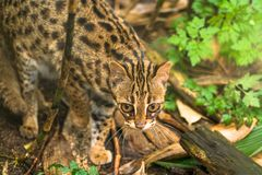 Leopard cat Prionailurus bengalensis. A small wild cat native to continental South, Southeast and East Asia stock photos