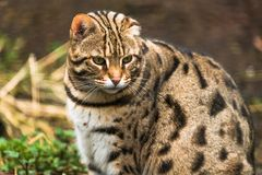 Leopard cat Prionailurus bengalensis. A small wild cat native to continental South, Southeast and East Asia royalty free stock photos