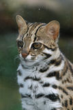 Leopard cat Royalty Free Stock Images