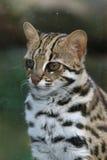 Leopard cat. (Prionailurus bengalensis) portrait Royalty Free Stock Images