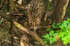 Leopard cat Prionailurus bengalensis. A small wild cat native to continental South, Southeast and East Asia stock image