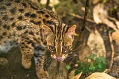 Leopard cat Prionailurus bengalensis. A small wild cat native to continental South, Southeast and East Asia royalty free stock images