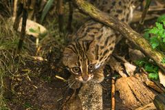 Leopard cat Prionailurus bengalensis. A small wild cat native to continental South, Southeast and East Asia stock photography