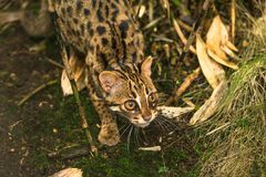 Leopard cat Prionailurus bengalensis. A small wild cat native to continental South, Southeast and East Asia royalty free stock image