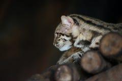 Leopard cat. Scientific name Prionailuru bengalensis Royalty Free Stock Photos