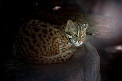 Leopard cat. Scientific name Prionailuru bengalensis Stock Photo