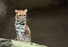 Leopard cat. Very annoyed wild leopard cat Royalty Free Stock Photos