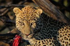 Leopard with catch, namibia. Leopard with catch in the tree, namibia, panthera pardus Royalty Free Stock Photography