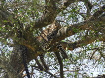 Leopard caught napping Stock Photography