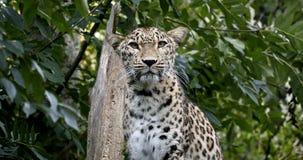 Leopard Ceylons Sri Lankan, Panthera pardus kotiya stock video