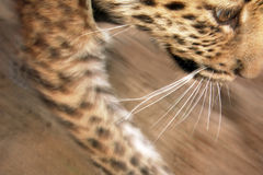 Leopard child Stock Photo