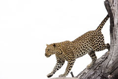 Leopard on tree, Botswana, Africa. A Close-up of a young leopard jumping down from a big tree in Botswana Royalty Free Stock Photography