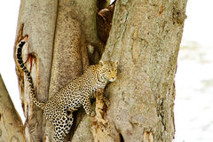 Leopard climbing down tree. In Africa Royalty Free Stock Photography