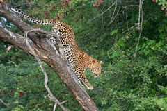 Leopard climbing down tree in the Kalahari Stock Photos