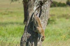 Leopard Climbing Down Tree In Serengeti royalty free stock photos