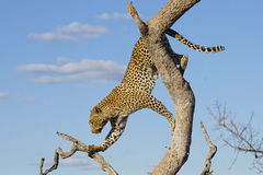 Leopard climbing, South Africa. African Leopard (Panthera pardus) climbing down a tree in South Africa Royalty Free Stock Images